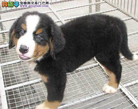 纯种伯恩山犬出售 终身包纯种包健康