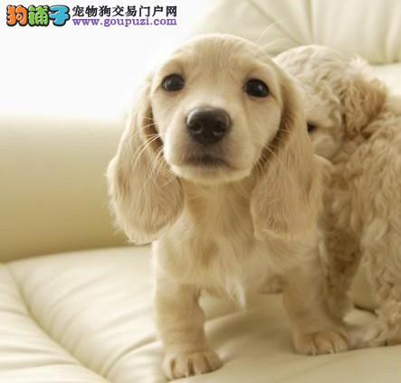 自家狗场繁殖直销腊肠犬幼犬签订终身协议