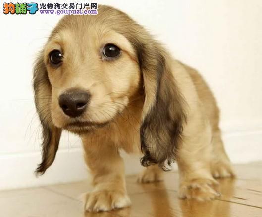 诚信犬业繁殖直销腊肠犬幼犬