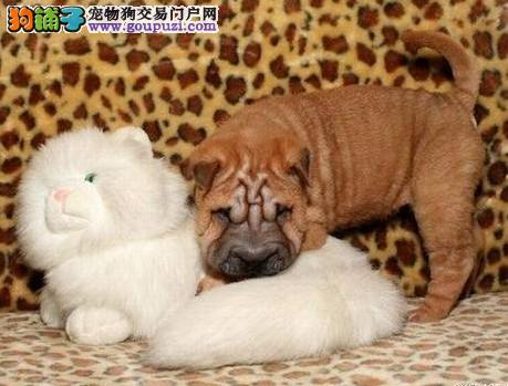 北京自家养殖纯种沙皮狗低价出售上门可见父母
