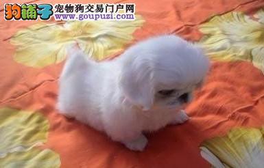 出售多种颜色纯种京巴幼犬终身完善售后服务