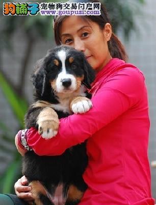 伯恩山幼犬纯种健康保证品质CKU认证