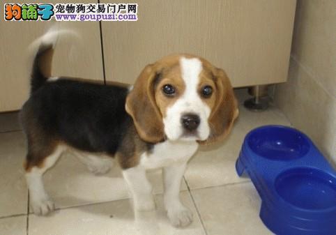 家养纯种比格幼犬,已经防疫,健康活泼