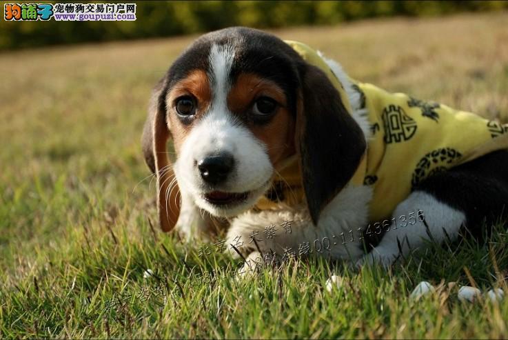 比格犬纯种健康保证品质CKU认证