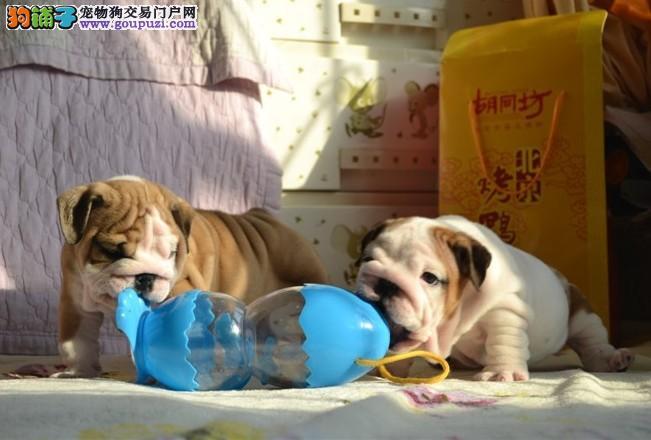 斗牛幼犬出售顶尖品质出售纯种斗牛幼犬,品质健康双保