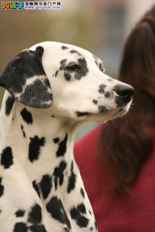 家养赛级斑点狗宝宝品质纯正签署各项质保合同