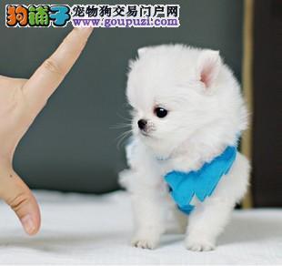 纯种茶杯犬多少钱广州茶杯犬价格多少茶杯犬价钱多少