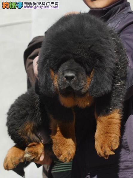 藏獒/犬场出售狮子头藏獒三个月公母都有2500到3000[两个月公母全有]