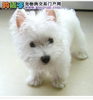 上海犬场直销纯种西高地白梗驱虫疫苗都已完成