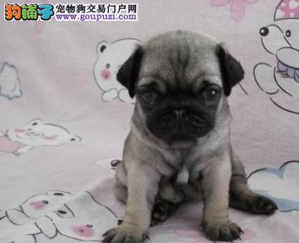 CKU认证犬舍 精品八哥 签署购犬协议 国际联保