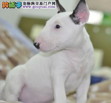 出售多种颜色纯种牛头梗幼犬真实照片视频挑选