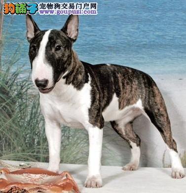 宁波正规狗场犬舍直销牛头梗幼犬最优秀的售后
