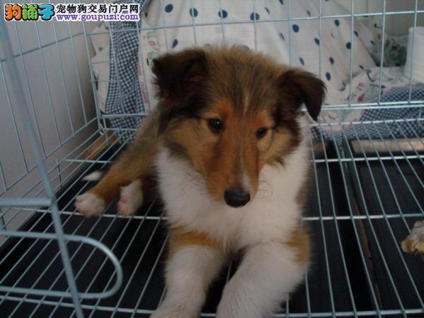 超可爱的圣伯纳犬宝宝。国际CKU认证信誉有保证