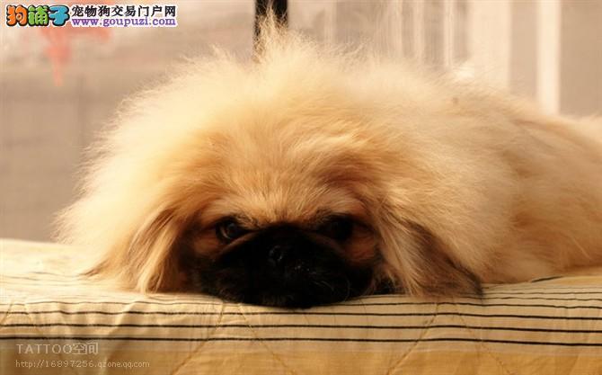 出售上海犬 哪里有卖京巴多少钱