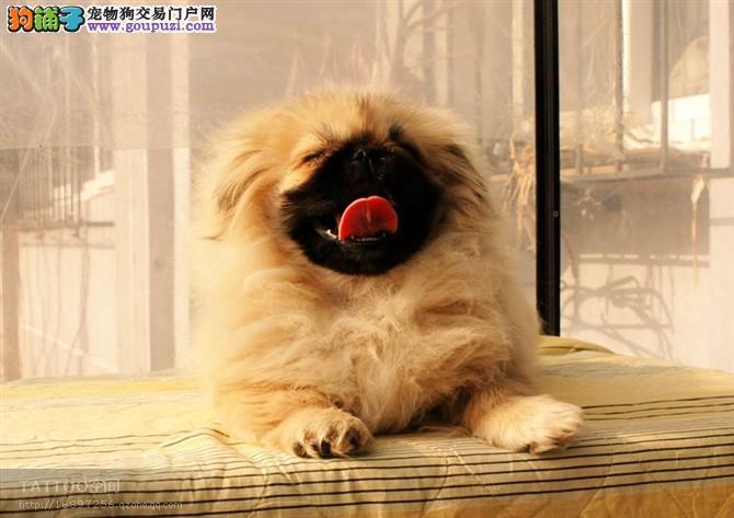 郑州出售京巴公母都有品质一流诚信经营良心售后