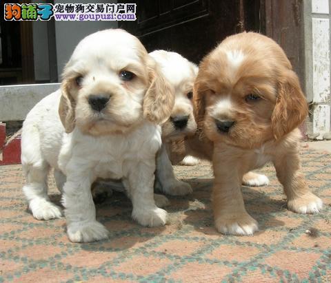 权威机构认证犬舍 专业培育可卡幼犬签订终身协议