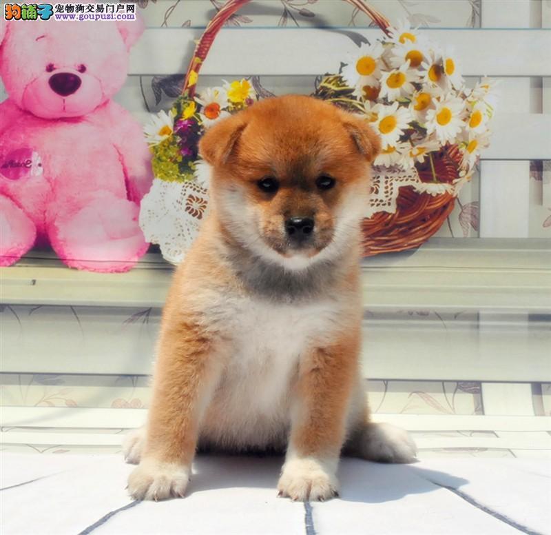 极品纯正的青岛柴犬幼犬热销中保证品质完美售后