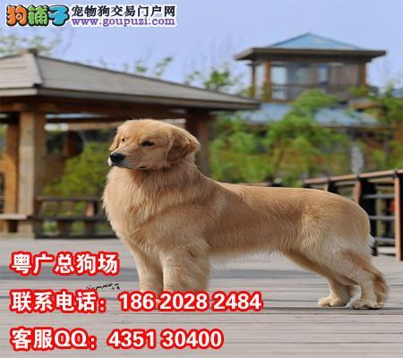月纯种金毛标准猎犬[三个月公母全有] 犬种: 金毛犬 东-三个月金毛