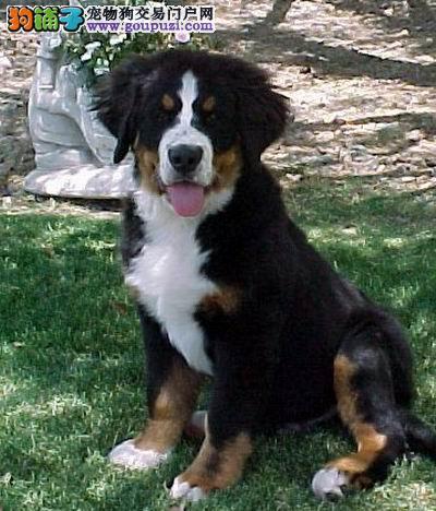 纯种伯恩山幼犬,温顺勇敢的大狗