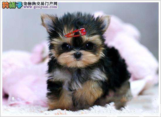 郑州大型犬舍低价热卖极品约克夏加微信送用品