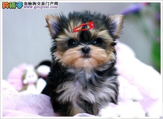 国际注册犬舍 出售极品赛级约克夏幼犬以品质惊世人