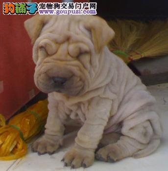 热销多只优秀的武汉纯种沙皮狗幼犬多种血统供选购