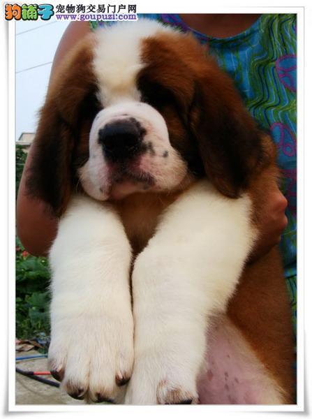犬舍直销纯种圣伯纳宝宝——希望能够找到喜欢他的主人