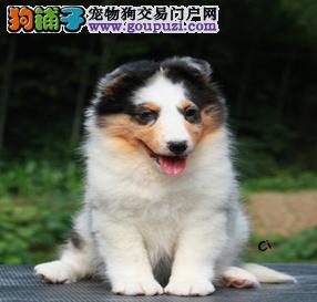 赛级品相喜乐蒂幼犬低价出售专业品质一流