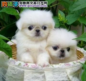 机灵.聪慧.高贵温顺.可爱的京巴价格合理可随时看狗