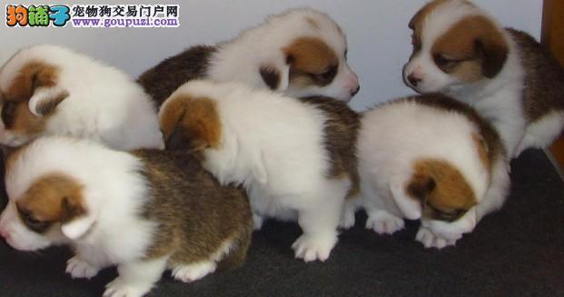 CKC国际出售柯基犬日本本土冠军JACK直子质保