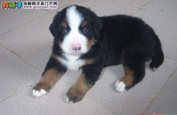 纯种,伯恩山,幼犬,包血统,包健康