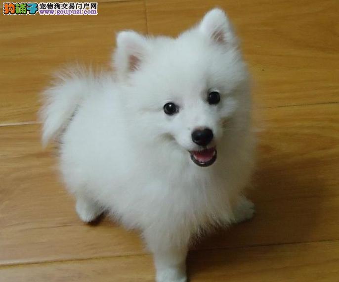 赣州家养赛级银狐犬宝宝品质纯正赣州地区可包邮
