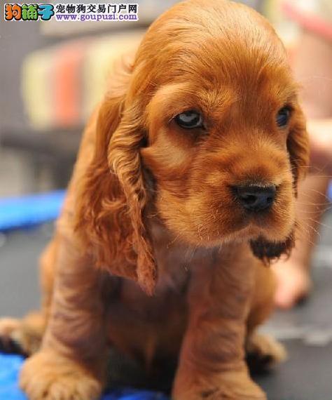 廊坊知名犬舍出售多只赛级可卡优惠出售中狗贩子勿扰