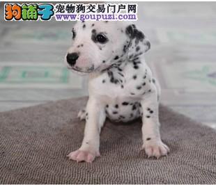 青岛本地出售高品质斑点狗宝宝实物拍摄直接视频