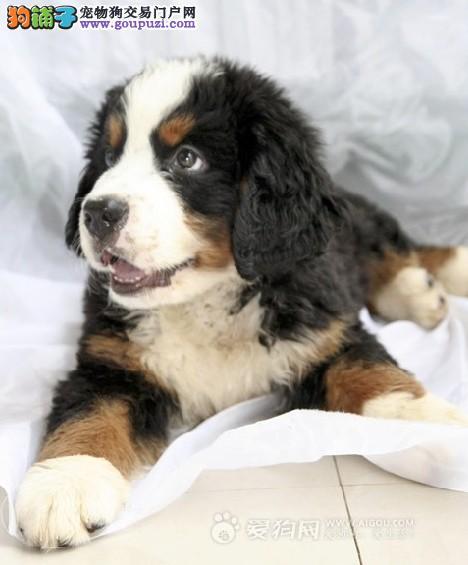 正规狗场犬舍直销伯恩山幼犬保障品质一流专业售后