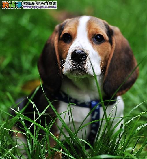 高品质比格犬热销,CKU认证保健康,提供养狗指导