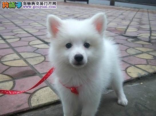 邢台自家繁殖的纯种银狐犬找主人带血统证书签活体协议