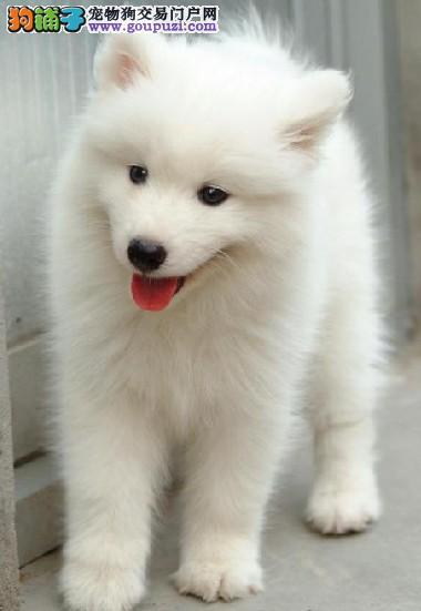 极品尖嘴,尖嘴银狐幼犬,质保