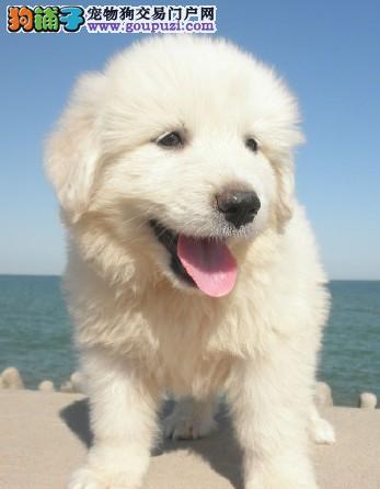 大白熊幼犬三个月 驱虫疫苗已做完 欢迎选购