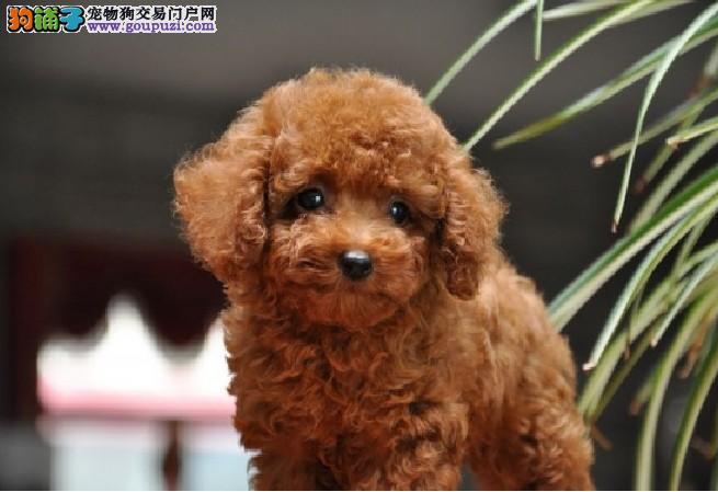 极品泰迪熊幼犬 家养纯血统红贵宾泰迪熊 价格优惠