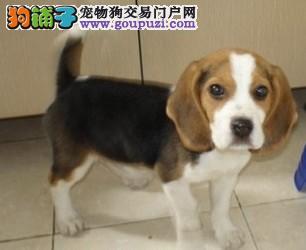 乌鲁木齐CKU认证犬舍出售高品质比格犬质保协议疫苗驱虫齐全