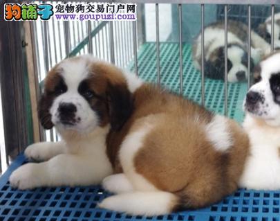 世界上最大的狗狗什么狗狗开家厉害圣伯纳怎么样