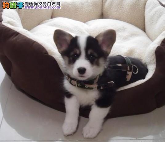 赛级品相北京柯基幼犬低价出售品质优良诚信为本