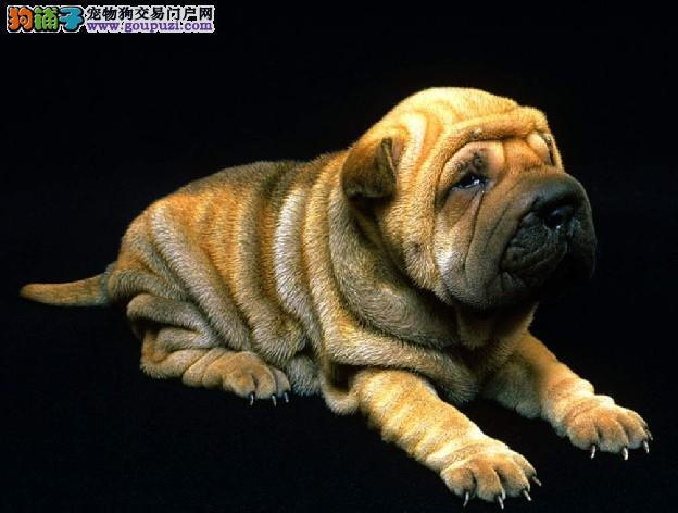 颜色全品相佳的沙皮狗纯种宝宝热卖中微信咨询欢迎选购