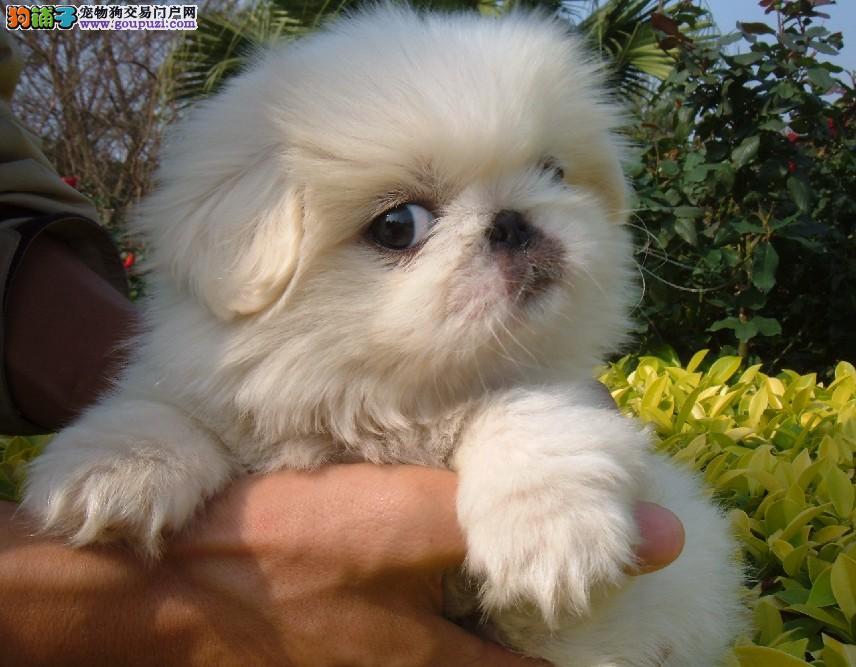 精品京巴幼犬一对一视频服务买着放心微信看狗真实照片包纯