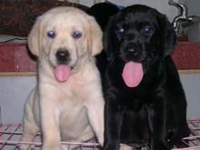 CKU认证赛级拉布拉多导盲犬繁殖基地-终身保障纯