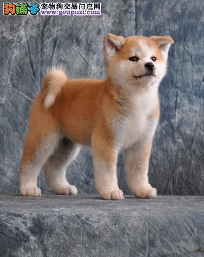纯种美系日系秋田幼犬待售 保证纯种 假一罚十