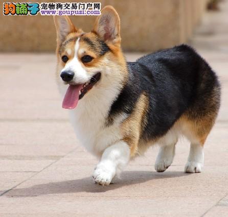 柯基幼犬出售中 假一赔十质量保障 绝对信誉保证