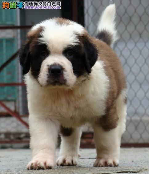 出售纯种圣伯纳幼犬 品相极佳包健康.纯正血统健康