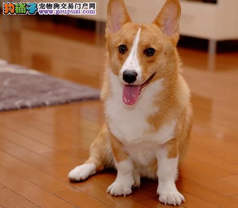 广州柯基犬 纯种粗骨架三色黄白色柯基幼犬 精品宠物
